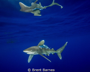 An oceanic white tip shark with surface reflections at Ca... by Brent Barnes