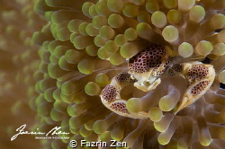 """anemone crab"" on Samber Gelap, South Borneo by Fazrin Zen"