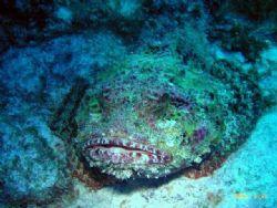 scorpian fish taken at dusk in Curacao by Joel Sarver