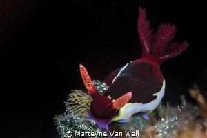 Red-Gilled Nembrotha (Nembrotha rutilans) by Marteyne Van Well