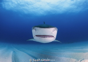 Head on. A female tiger shark heads straight for me at Ti... by Sean Chinn