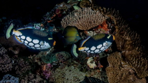Two Clown triggerfish getting a bit territorial and chasi... by Chris Pienaar