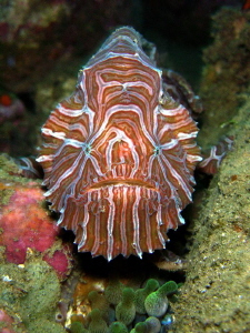 The psychedelic frogfish - size about 5 - 6 cm by Danny Van Belle