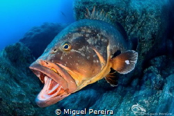 Epinephelus marginatus yawning. by Miguel Pereira