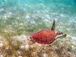 Hawksbill Turtle off Scott's Beach, St. John, USVI. Olymp... by Michael Wenzler
