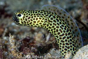 Garden eel on muck dive, Giant Clam, Puerto Galera by Tobias Reitmayr
