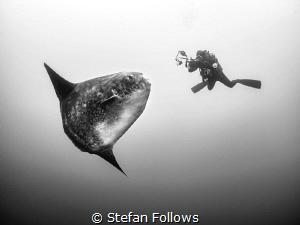 The Kiss. Southern Ocean Sunfish - Mola ramsayi. Gilli Mi... by Stefan Follows