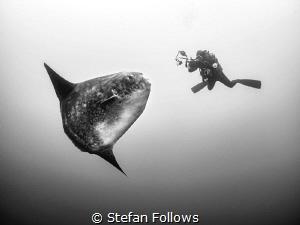 The Kiss. Southern Ocean Sunfish - Mola ramsayi. Gilli Mi... by Stefan Follows