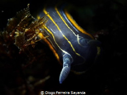 little isopod cleaning polip's tentacles by Diogo Ferreira