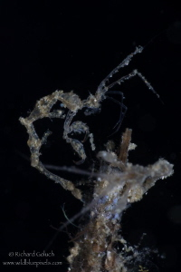 Skeleton Shrimp-Lembeh by Richard Goluch