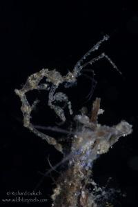 Skeleton Shrimp-Lembeh by Richard Goluch