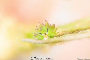 Tiny sheep by Taotao Yang