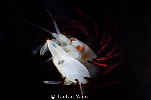 white shrimp with red eyes by Taotao Yang