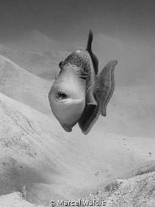 Triggerfish by Marcel Waldis