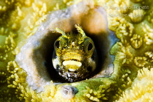 Blenny in coral, Klein Bonaire by Alejandro Topete