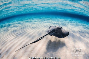 """""""Hover"""" A stingray glides over sand in shallow water. St... by Susannah H. Snowden-Smith"""