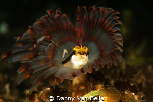 Tubeworm and small fish by Danny Van Belle by Danny Van Belle