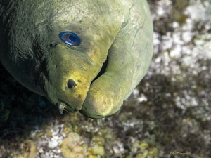 We've seen more and more curious moray eels as we dive Gr... by Robin Bateman