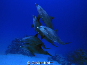 5 dolphins playing around us divers at a depth or around ... by Olivier Notz