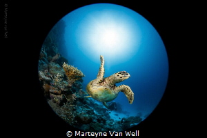 A curious hawksbill by Marteyne Van Well