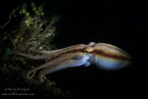 Mototi Octopus-Lembeh by Richard Goluch