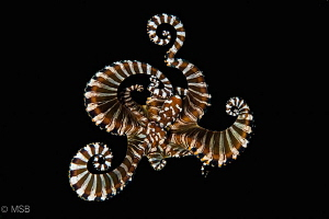 Wonderpus octopus with background elimination. Lembeh. by Mehmet Salih Bilal