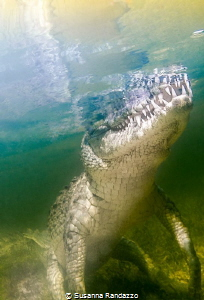 american crocodile scrutnizing the surface by Susanna Randazzo