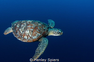 Swimming with a Green Turtle by Henley Spiers