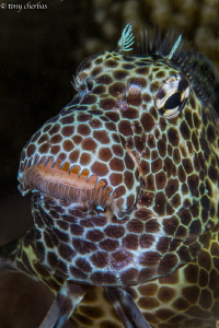 Leopard Blenny by Tony Cherbas