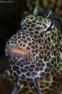 Leopard Blenny by Tony Cherbas