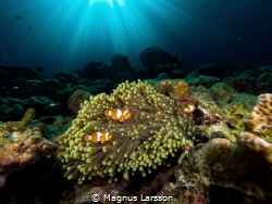 Clownfish family in their anemone by Magnus Larsson