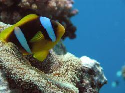 clown fish in red sea, Sudan. by Alvaro Managò