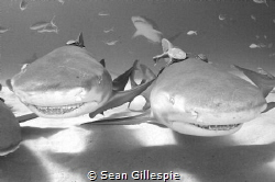 Two lemon sharks just cruising around checking out all my... by Sean Gillespie