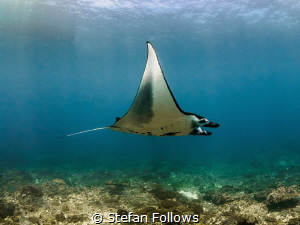 Butterflies and zebras and moonbeams. Manta Ray - Manta a... by Stefan Follows