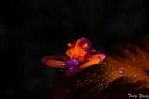 Emperor Shrimp by Tony Yang