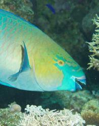 Parrot fish taken at Sharks Observatory, Ras Mohamed Park... by Nikki Van Veelen