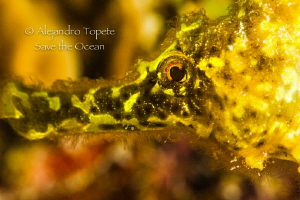 Yellow Sea Horse close up, Klein Bonaire by Alejandro Topete