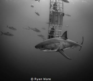 Great White Fun, Isla Guadalupa.  Cannon 5D Mark iii, 17-... by Ryan Ware