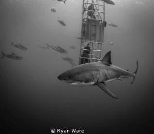Great White Fun, Isla Guadalupa.  Cannon 5D Mark iii, 17-... by Ryan Ware