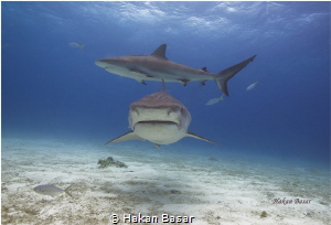 Tiger Beach / Tiger Shark & Reef Shark  No PS !! by Hakan Basar
