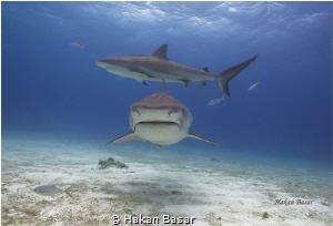 Tiger Beach / Tiger Shark & Reef Shark  No PS !! by Hakan Basar