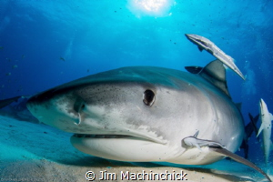 Tiger Shark inspection...Checking herself out in my dome by Jim Machinchick
