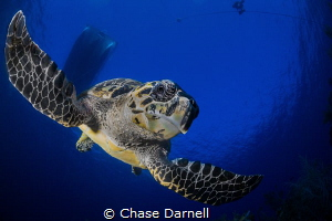 """""""Like a Hawk"""" No wonder we call them Hawksbill Turtles. ... by Chase Darnell"""