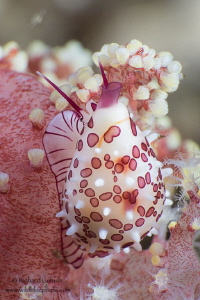 Margined Egg Cowrie-Lembeh by Richard Goluch