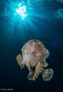 Frogfish free swimming in all its weird glory by Tony Cherbas