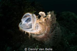 Jawning Rhinopias by Danny Van Belle