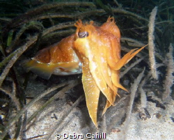 Cuttlefish Pt Hughes Jetty South Australia by Debra Cahill