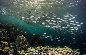 Mackerel shoal by Leena Roy