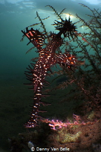 Ghostpipefish in micro wide angle by Danny Van Belle