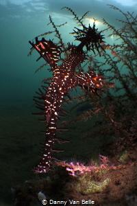 Ghostpipefish in micro wide angle by Danny Van Belle